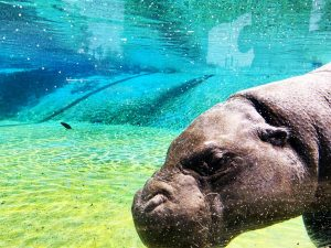 Excellent water clarity for hippo exhibit