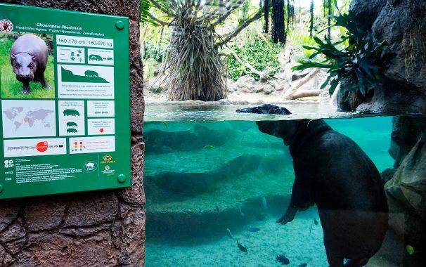 Loro Parque Zoo Pygmy Hippopotamus